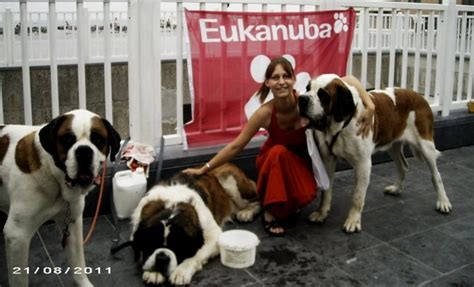 Do St Bernards Shed by Bernard Club Breeds Picture