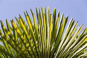 Hanfpalme Braune Blätter : hanfpalme bekommt braune blattspitzen woran kann 39 s liegen ~ Lizthompson.info Haus und Dekorationen