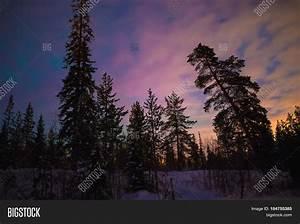 Pine Trees Forest Night Winter. Image & Photo | Bigstock