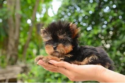Yorkie Teacup Care Lifespan Breeds Guide Dog