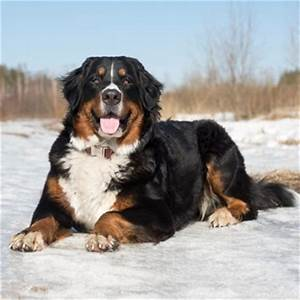 Bernese Mountain Dog Breed Information, Characteristics ...