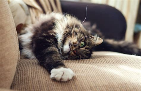 cat clawing furniture 7 cat behaviours explained pawpost 2015