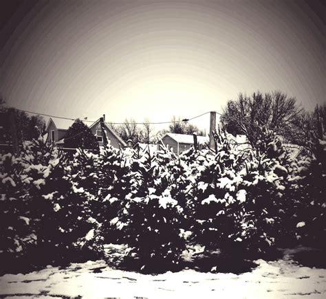real christmas tree farm anoka mn tree trimming care