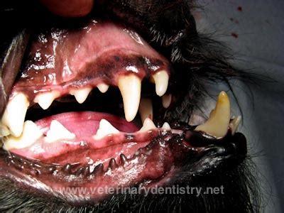 severe class iii malocclusion   dog underbite