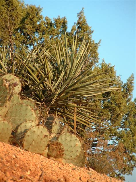 [Cactus and trees] - The Portal to Texas History