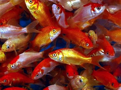 cheap feeder fish about us