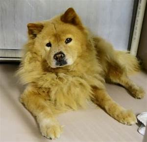 79 best images about Chow Chow Dogs for Adoption on ...