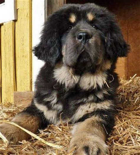 rottweiler  newfoundland puppy