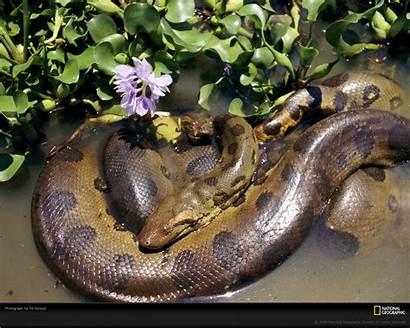 Anaconda Wallpapers Animals Snake Rainforest