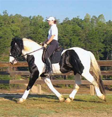 horse draft breeds gentle spotted credit inc giants drafts crossed often courtesy because mountain riding breed trail rare disposition flashy