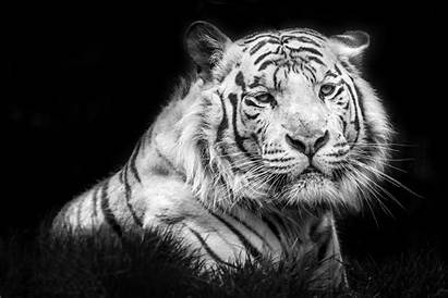 Tigre 4k Tiger Blanco Wallpapertip Wallpapers Ultra