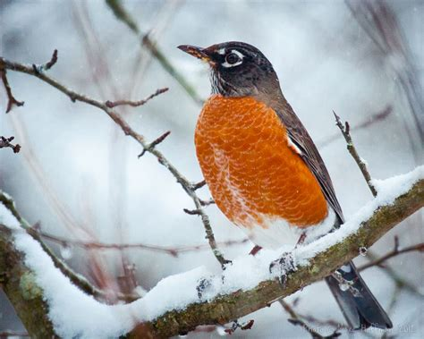 best 28 why does a robin keep hitting my window