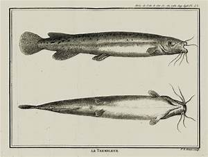 The First Scientific Representation Of The Electric Catfish  From