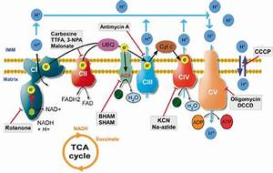 The Mitochondrial Oxphos Pathway And Various Mitochondrial