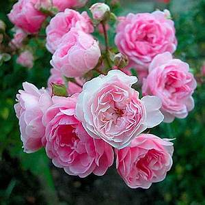 Langage Des Fleurs Pivoine : the fairy les roses anciennes andr eve fleure pinterest rosier rose et jardin rose ~ Melissatoandfro.com Idées de Décoration