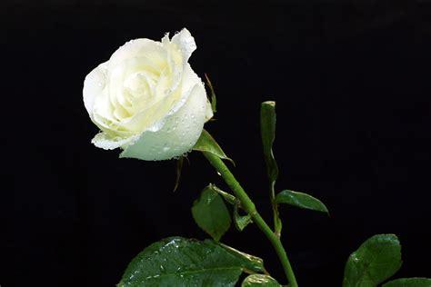 Cytotec Youtube Kumpulan Gambar Bunga Mawar Putih Yang Cantik Indah Blog