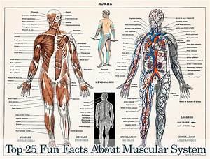 Top 25 Best Muscular System Facts