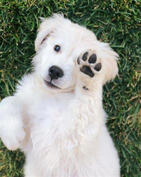 English Cream Golden Retriever Puppy Pets And Animals 動物