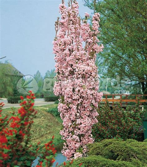 prunus trees for small gardens prunus serrulata amanogawa rosa google zoeken tuin pinterest gardens prunus and shape