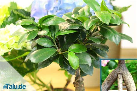 Ficus Ginseng Pflege Tipps by Ficus Carica Pflege Ficus Carica Violette Feigen