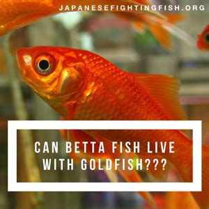 how do bettas live can betta fish live with goldfish betta fish care articles