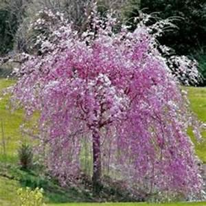 Petit Arbuste Fleuri : cerisier pleureur fleurs ~ Premium-room.com Idées de Décoration