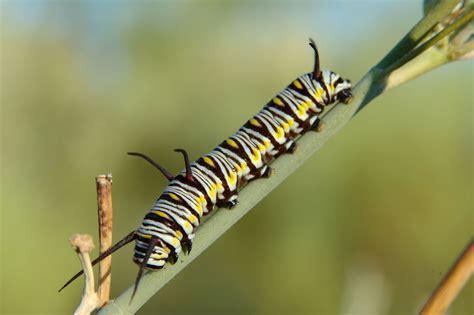 caterpillar pictures