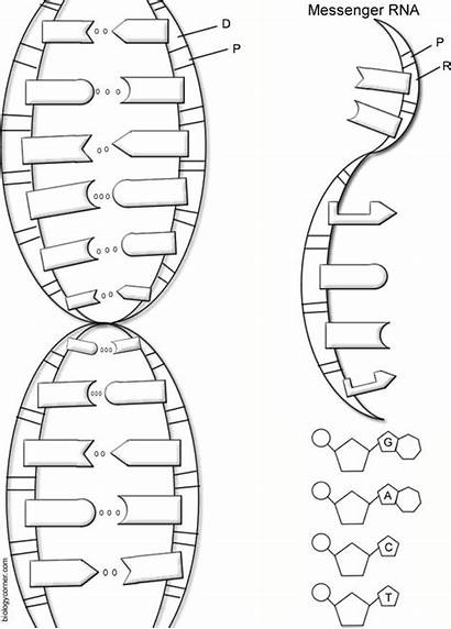 Dna Worksheet Structure Rna Worksheets Coloring Helix