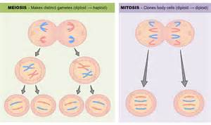 Mitosis and Meiosis Comparison