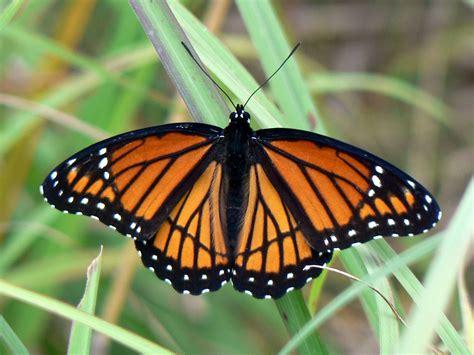 Viceroy (butterfly)