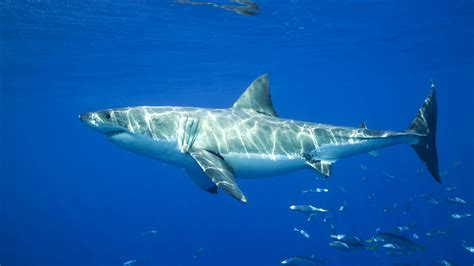 Shark Image Sharks Shark Fish Facts About Hd Photos Collection