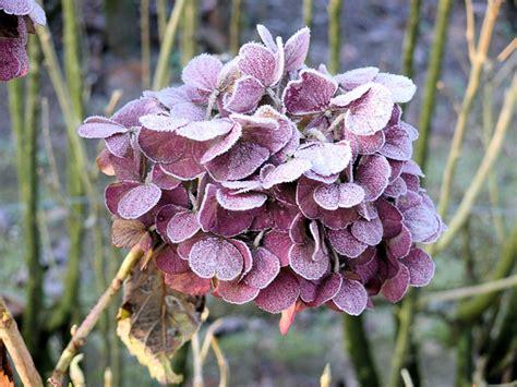 Quand et comment tailler les hortensias ou hydrangéas