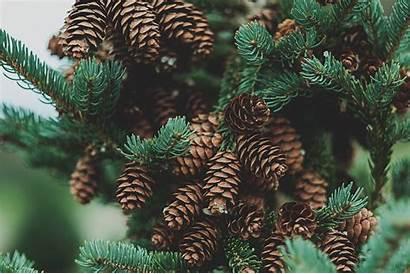 Pine Trees Juneau Arrive Did North