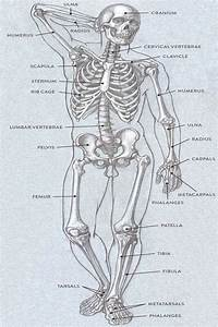 Bones And Surface Landmarks Classic Human Anatomy In