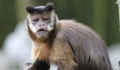 capuchin monkey capuchin monkeys gold bellied monkey facts information