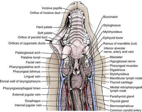 digestive apparatus  abdomen veterian key