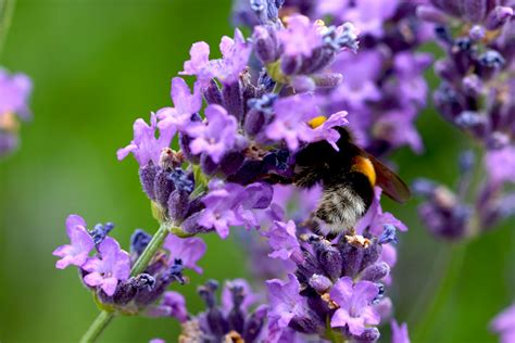 wie lavendel schneiden lavendel pflanzen wann lavendel wann pflanzen wie pflegen