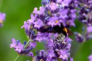 Wann Wird Lavendel Geschnitten : lavendel schneiden mit 3 schnitten durch das jahr ~ Lizthompson.info Haus und Dekorationen