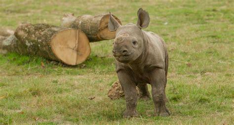 lympne port zuri rhino cheetah called zoo