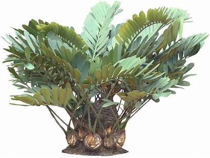 Plant Plants Tropical Garden Potted Zamia Palm