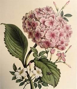 Chirat 'Hydrangea & Jasmine' Botanical Illustration by ...