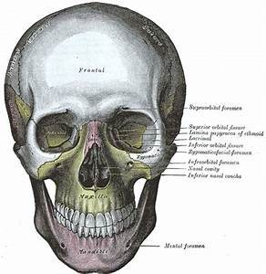 The Exterior of the Skull - Human Anatomy