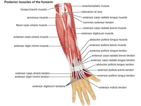 A muscle consists of many muscle tissues bundled together and surrounded by epimysium, a the biceps, triceps, and quadriceps are all common names for muscles that body builders tend to focus on. arm | Definition, Bones, Muscles, & Facts | Britannica