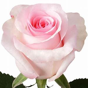 Light Pink roses, wholesale roses, Nena Rose ...