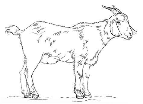 disegni da colorare capre stampabile gratuito  bambini  adulti
