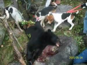 Bear Hunting with Hound Dogs