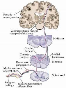 sensory system anatomy Page 10