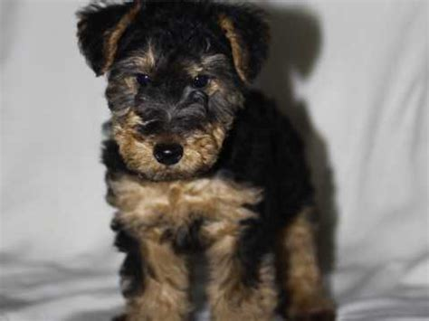 welsh terrier dog breed information buying advice
