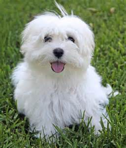 Puppy Maltese Dogs