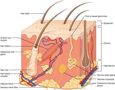 integumentary system anatomy  physiology